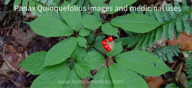 Panax Quinquefolius images and medicinal uses
